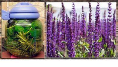 Шалфей трава - лечебные свойства и противопоказания.